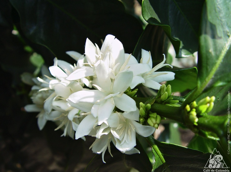 The first flowering of coffee plants, is after 8 months of being planted, then 8 months later the coffee cherries reach their maturity point. http://colombiancoffeehub.com/sites/default/files/its_coffee_time_310712_0.png