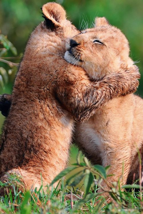 17 best images about animals hugging on pinterest friendship lion cub and puppys. Black Bedroom Furniture Sets. Home Design Ideas