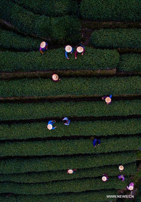 Farmers pick West Lake Longjing tea at a tea plantation of Wengjiashan village in Hangzhou, Zhejiang province, March 20, 2015. The newly-picked West Lake Longjing tea is expected to be on the market at the end of this month