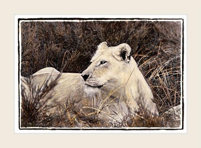 African Wildlife - On The Alert - Marlene Neumann Fine Art Photography  www.marleneneumann.com  neumann@worldonline.co.za