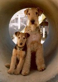 Mom & Baby Airedale