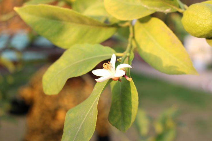 Flor de limonero. Santiago CL