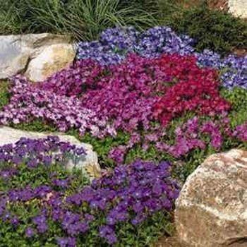 best  ground cover seeds ideas on   thymus serpyllum, Natural flower