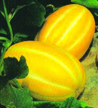 Google Image Result for http://www.lionseeds.com/wp-content/uploads/2007/05/muskmelon-yellow.jpg