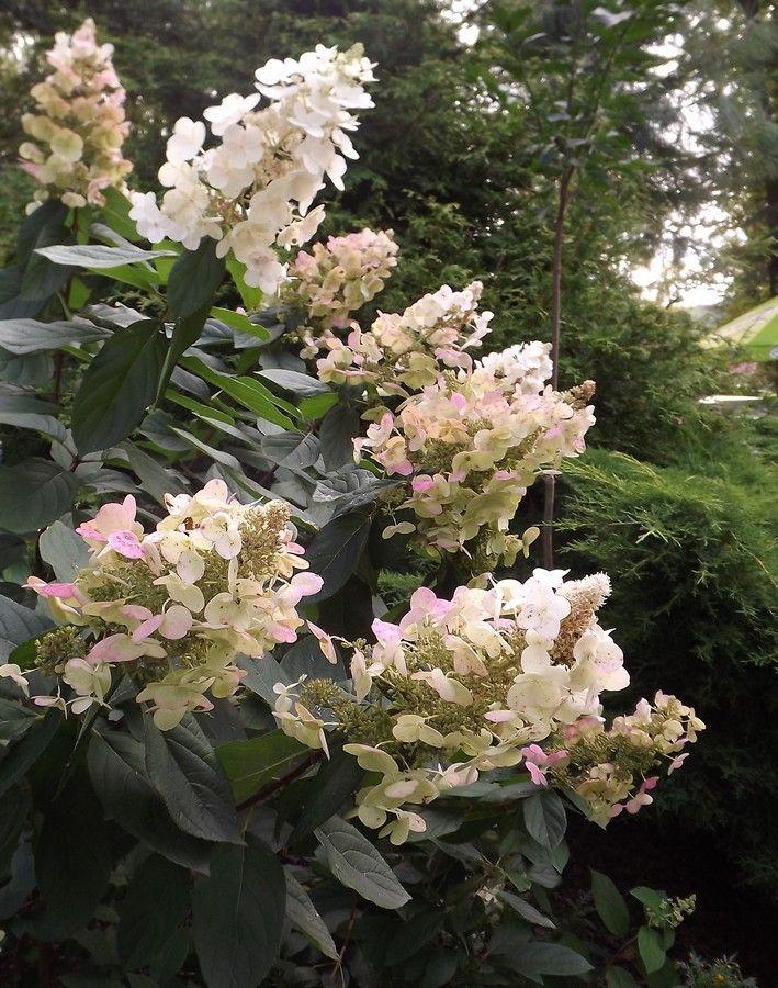 Hortensje bukietowe - ogrodowe piękności - Szkółka Roślin Ozdobnych DAMMERA