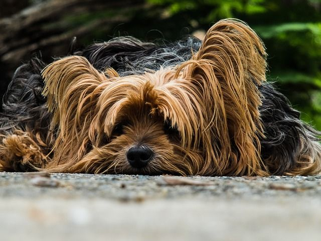 Free Photo: Dog, Yorkshire Terrier, Lazy Dog - Free Image on Pixabay - 195877