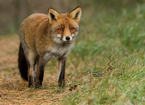 Red Fox Pictures Animals | 26 red fox in 30+ Amazing Pictures of Animals