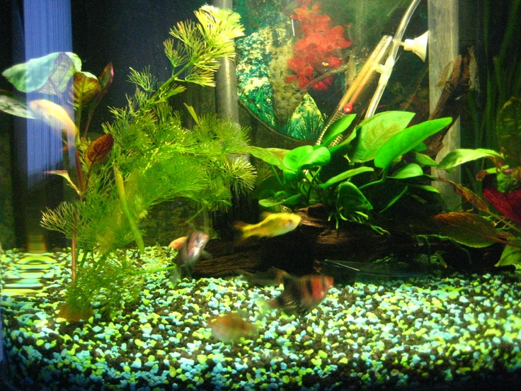 Tiger barbs swimming happily.
