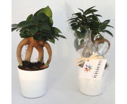 Ficus Ginseng personnalisé en image