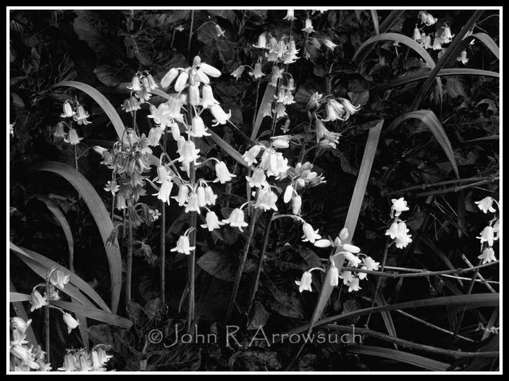 Bluebell monochrome, with one white bluebell amongst the blue!.