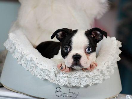 <3<3<3 Beetlejuice the Boston Terrier FOR SALE! <3<3<3 954-353-7864 www.teacuppuppiesstore.com #bostonterrier #boston #terrier #minibostonterrier #miniboston #miniterrier #toy #teacup #teacuppuppies #teacuppuppiesstore #tiny #teacuppuppiesforsale #small #little #florida #miami #fortlauderdale #bocaraton #westpalmbeach #southflorida #miamibeach #cute #adorable #puppy #puppiesforsale #puppylove #unique #blueeyes #mini #miniature