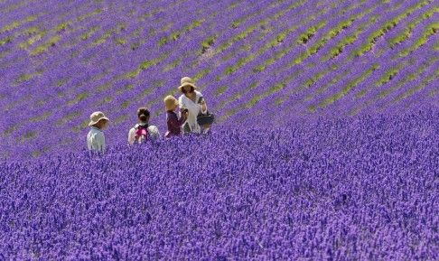Furano, Japan: Famous for its lavender farms in summer