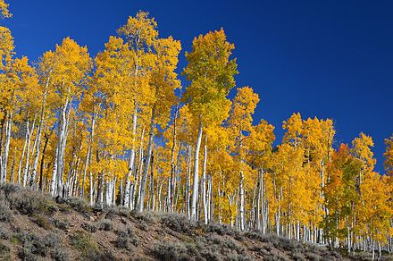 Pando tree is a clonal colony (a bunch of trees with the same genes) connected by a massive root system, estimated to be 80,000 years old and is among the oldest oldest living organisms on our planet. Fascinating!