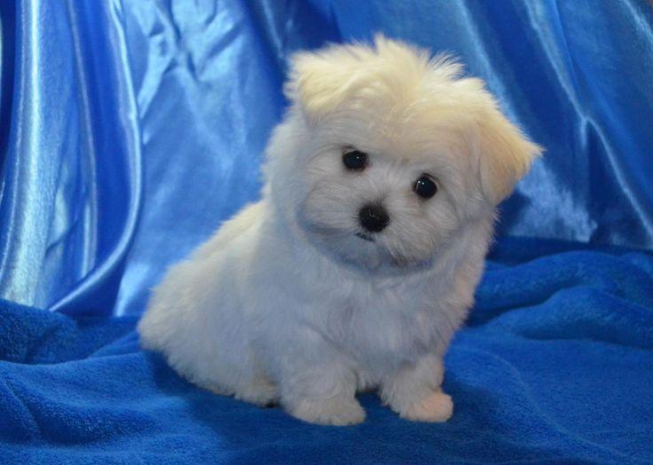 Male Maltese Puppy Ckc Price Reduced In Brant Michigan Hoobly