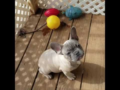 French Bulldog puppy for sale near Houston, Texas | f3b077e0-8861
