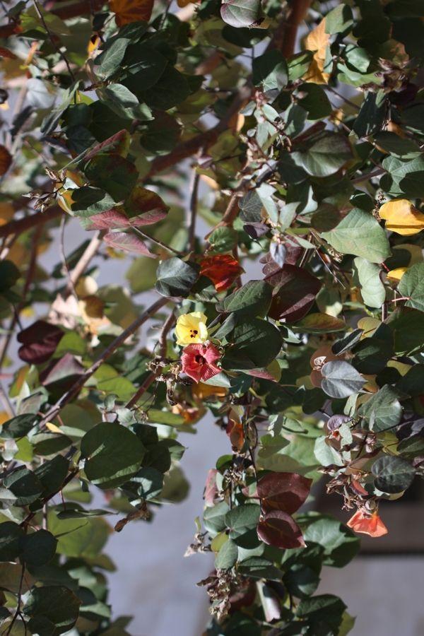 Сказочное дерево   с  разноцветными  листочками  и  цветами.  Гибискус  липовидный.  Цветы  к  вечеру  краснеют,  поэтому  на  дереве  могут  одновременно  находиться  красные  и  желтые  цветы.