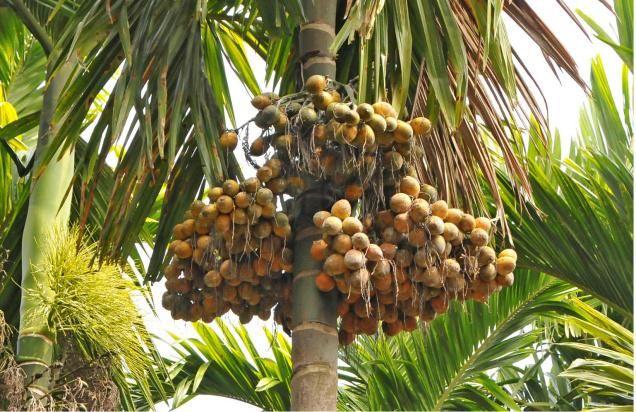 Indonesia Areca Nut, Indonesia Areca Nut Manufacturers and Suppliers on Alibaba.com
