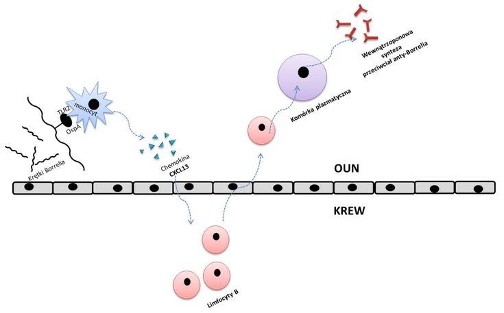 Neuroborelioza Schemat. Laboratoryjna diagnostyka neuroboreliozy opiera się przede wszystkim na ocenie wewnątrzoponowej syntezy przeciwciał anty-Borrelia. Jest to badanie kluczowe w rozpoznaniu choroby, lecz nie powinno być używane w celu monitorowania skuteczności terapii.