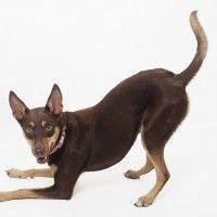 #dogalize Razze cani: Kelpie Australiano, carattere e caratteristiche #dogs #cats #pets