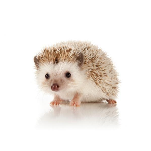 El erizo como mascota - ExpertoAnimal