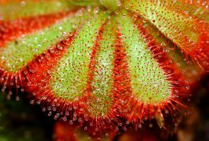 Drosera Capensis pianta carnivora domestica