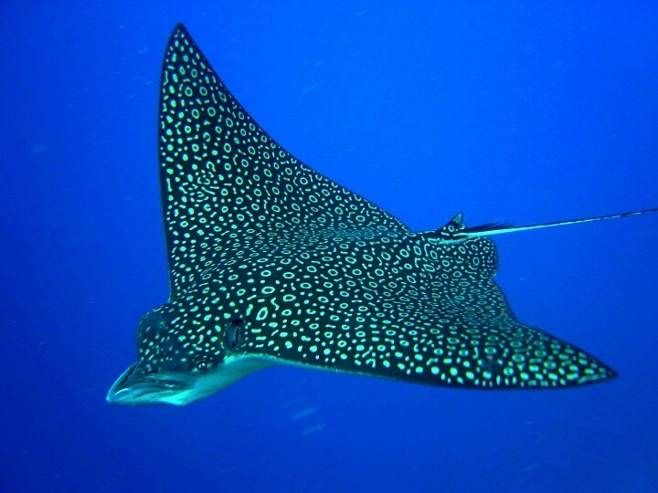 Spotted ray Lets Go Diving Amazing discounts - up to 80% off Compare prices on 100's of Hotel-Flight Bookings sites at once Multicityworldtravel.com