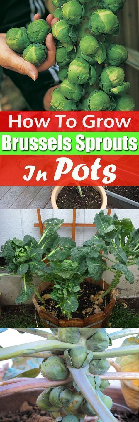Growing Brussels sprouts in containers is not difficult, and with little efforts, you can reward yourself with the homegrown supply of this nutty and sweet tasting vegetable! #containervegetablegardening