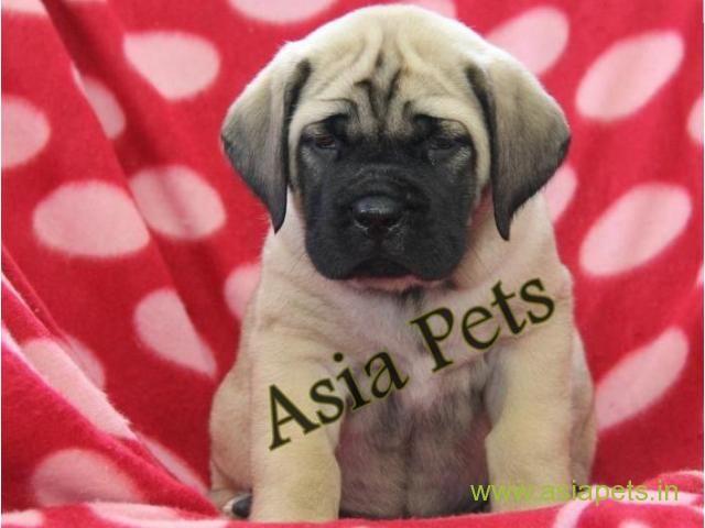 English Mastiff Pups Price In Delhi English Mastiff Pups For Sale