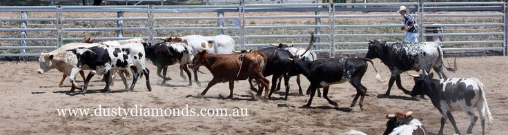 Muswellbrook Charity Rodeo & Campdraft - the herd has landed!  Www.dustydiamonds.com.au