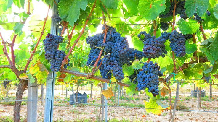 Organic Mataro Vineyards in Pano arodes village , Cyprus