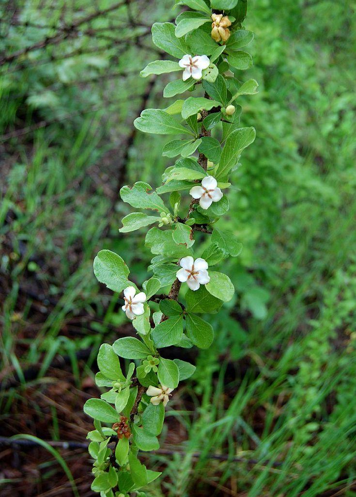 Catunaregam Taylorii/Xeromphis Obovata           Thorny Bone-apple      Doringbeenappel       S A no 689