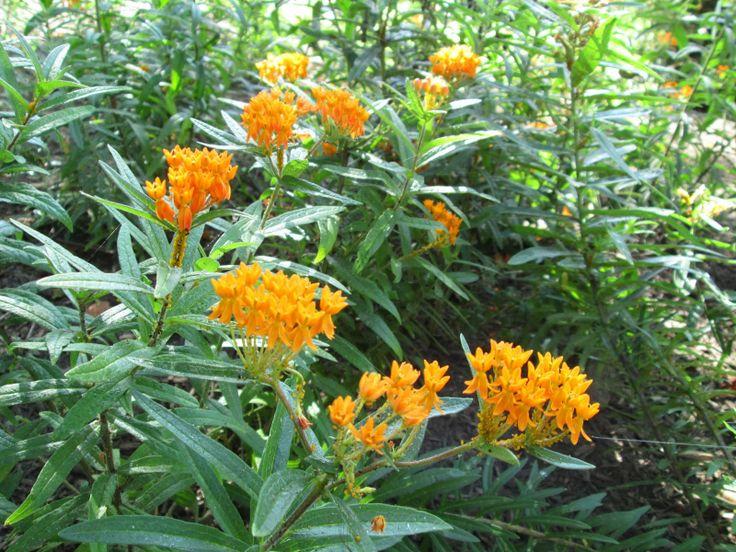 25 Best Our Milkweeds Images On Pinterest Butterflies