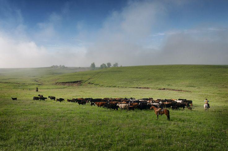 Flint Hills Cattle Drive Chase County Kansas Dave Leiker