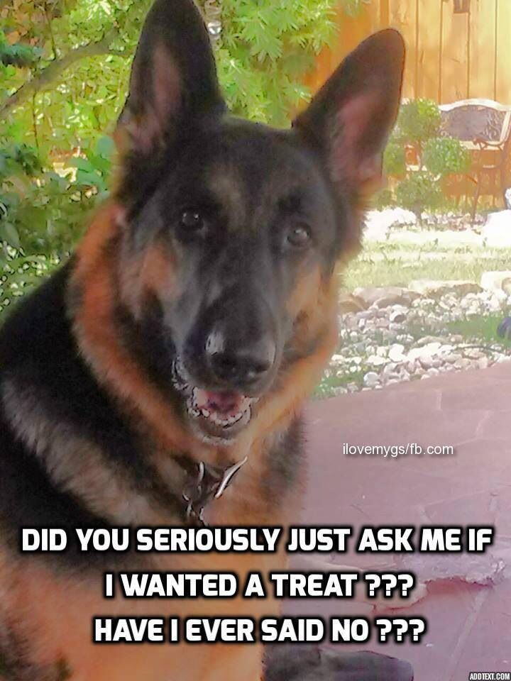 """Always assume the answer is """"YES!"""" #dogs #doglovers #germanshepherd"""