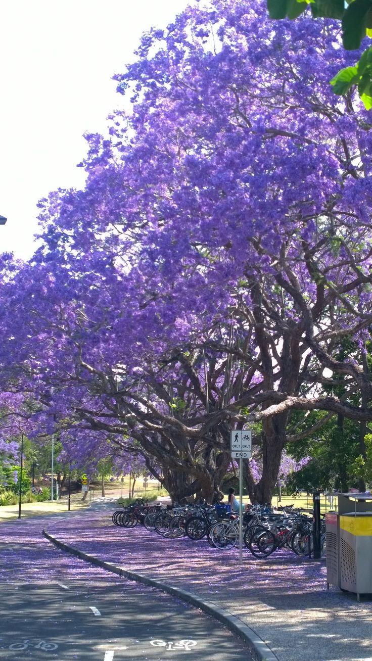 Jacaranda flowering at UQ