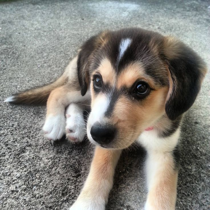 Cutest goberian puppy! (Mix Dogs)