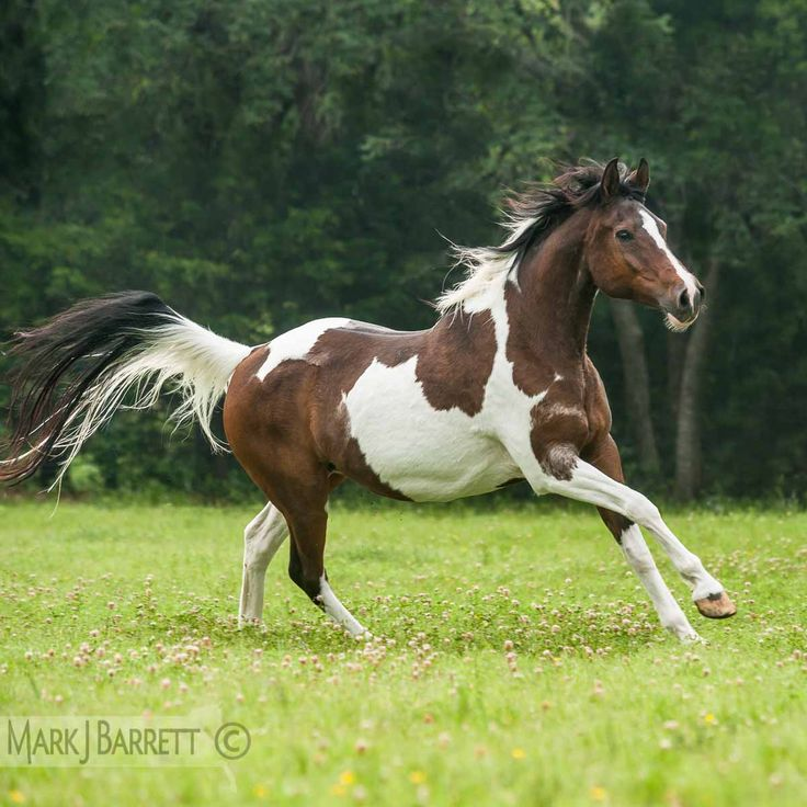 pinto horse pictures submited - photo #27