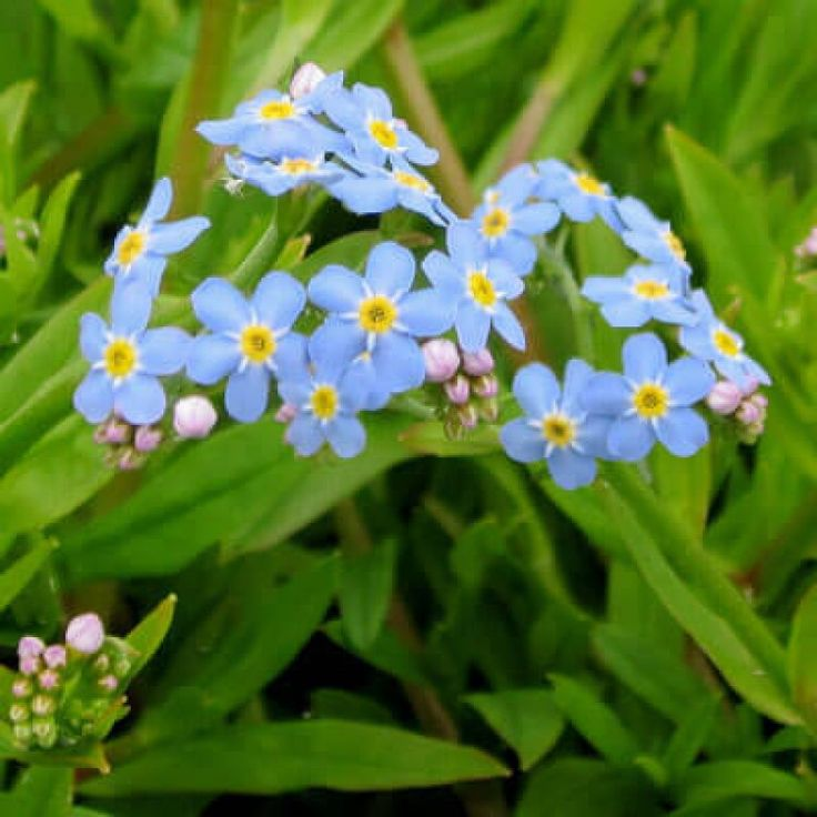 Myotis scorpioides Water forget-me-not Flowers May - July Needs damp conditions, sun / partial shade