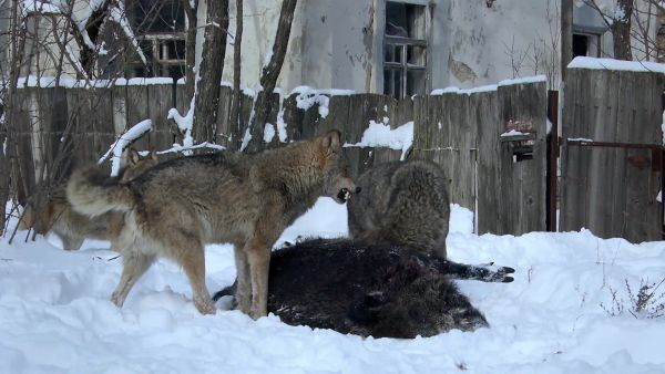 How These Wolves Thrive In The Chernobyl Radiation Zone