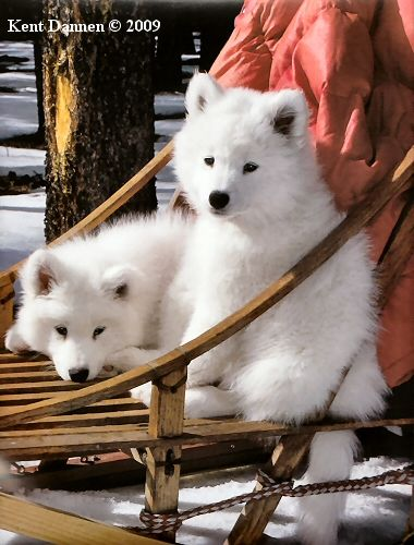 Samoyed Dog, one of the top 10 hypoallergenic dogs.  So want one, PLEASE, Tod