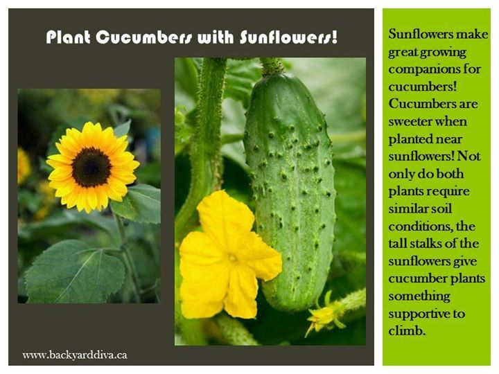 Plant Cucumbers With Sunflowers Sunflowers Make Great 400 x 300