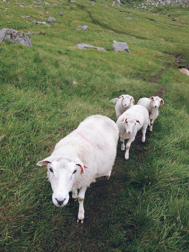 owce, Lofoty, 2015 | sheeps <3