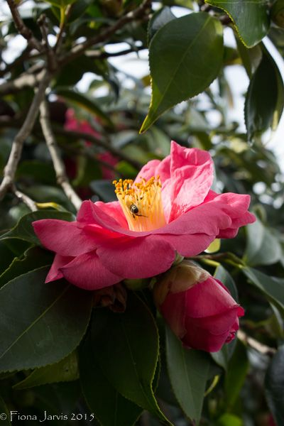 "L2M1AS1 Part B: Program Shift ""Camellia"" subject in shadow, bright b/grd, with AE Lock, outdoors, partly cloudy, Canon 600D, P mode, AF, handheld, no flash, WB sunlit, ISO 200, FL 43mm, 1/200 sec, f/8.0, JPEG exported from Light room edited spot removal from leaves, - 1/4 stop exposure adjustment."