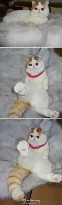 Кот Снупи - самый милый кот в мире! ФОТО. ВИДЕО | Otkrito.lv