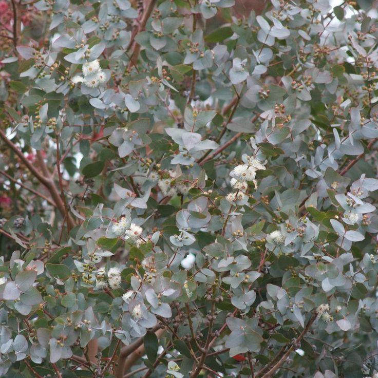 Variétés adaptées à un sol calcaire Gommier cendré (Eucalyptus cinerea)