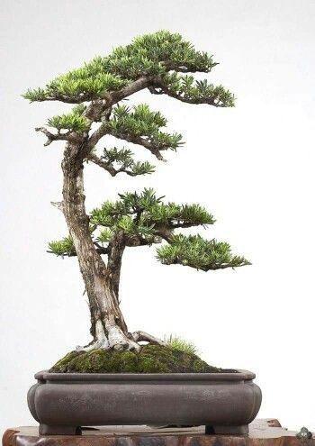 Podocarpus Bonsai