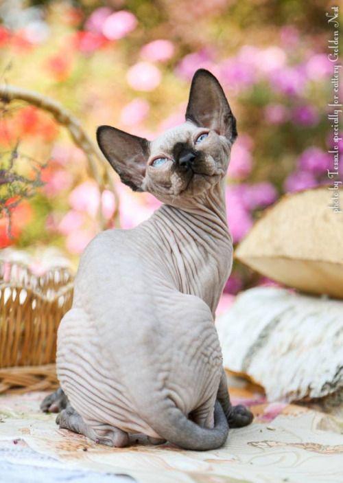 """Sphynx kitten """"Ferraro Rocher"""" by Tessa"""