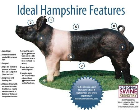 Ideal hampshire