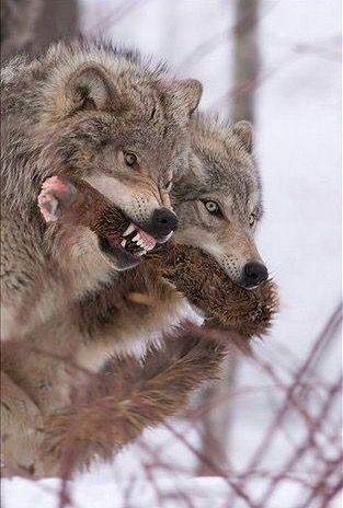 Grrrrrrr pas touche <3 ******