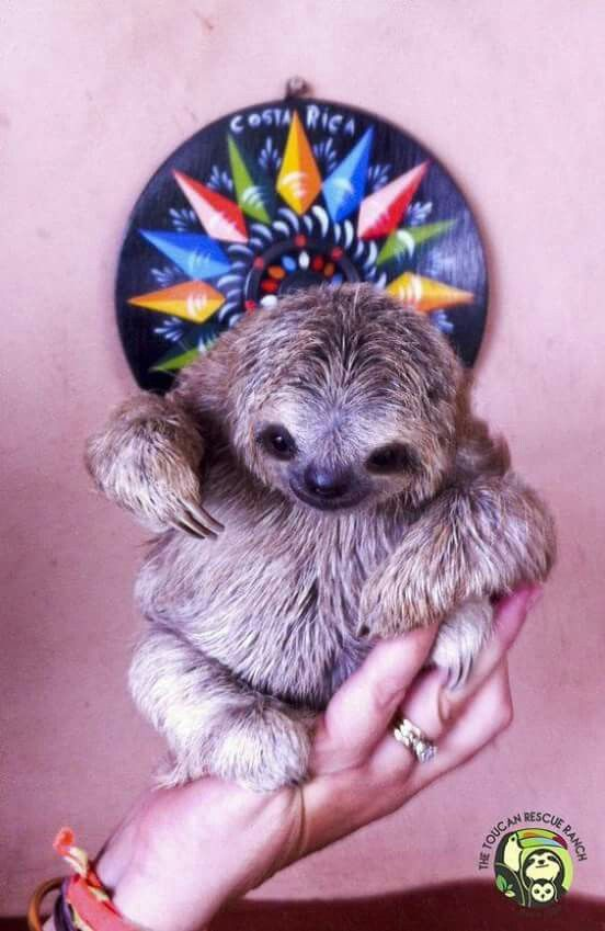 Pygmy sloth in human hands